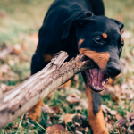 A rottweiler puppy biting a huge stick